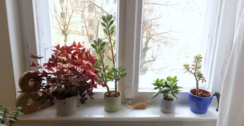 Zimmerreise Pflanzen Fensterbank